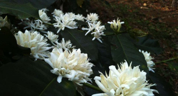 TheTamaraCoorg-Coffee-blossoms